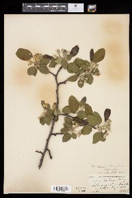 Malus × soulardii image
