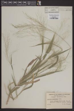 Image of Panicum tuckermanii
