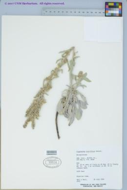 Image of Cryptantha breviflora