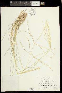 Chloris andropogonoides image