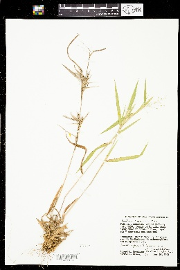 Image of Panicum scoparioides