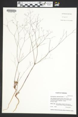 Eriogonum subreniforme image