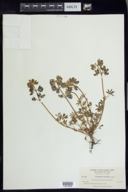 Lupinus nanus image