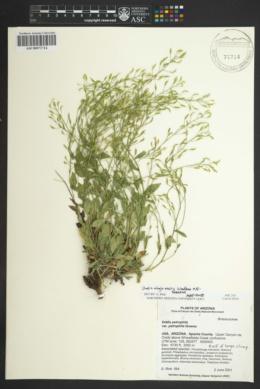 Image of Draba abajoensis