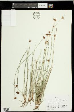 Image of Rhynchospora fernaldii