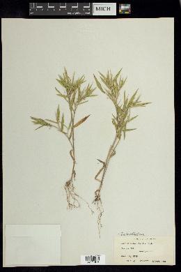 Dichanthelium malacophyllum image