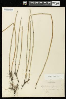 Image of Equisetum x moorei