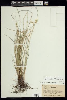 Image of Carex muriculata