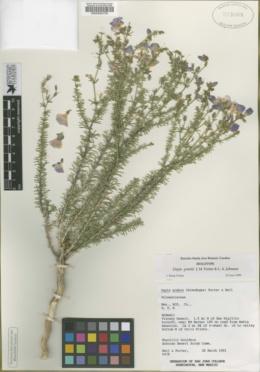 Image of Dayia grantii