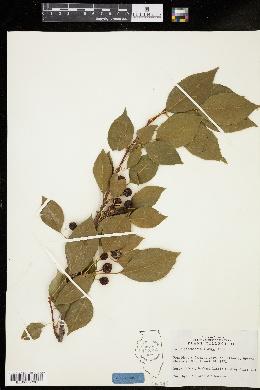 Image of Malus hupehensis