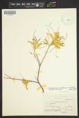 Mariosousa millefolia image