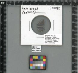 Image of Hemiargus ceraunus