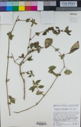 Dyschoriste hirsutissima image
