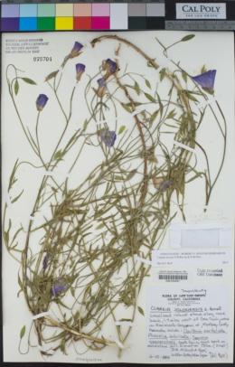 Image of Clarkia lewisii