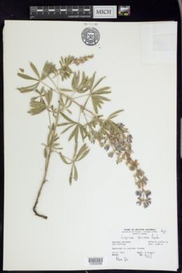 Lupinus sericeus image