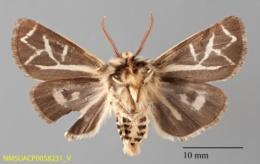 Grammia williamsii image