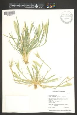 Hordeum murinum image