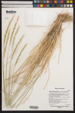 Elymus wawawaiensis image