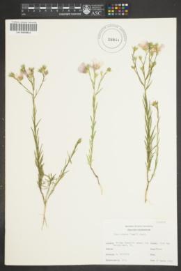 Image of Linum alatum