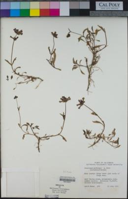 Penstemon rydbergii image