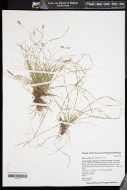 Image of Carex emmonsii