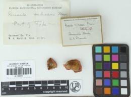 Image of Russula subacris