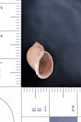 Image of Stagnicola apicina