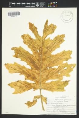 Acanthus spinosus image