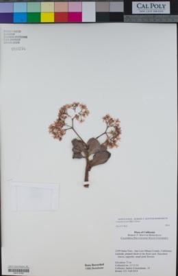 Crassula ovata image