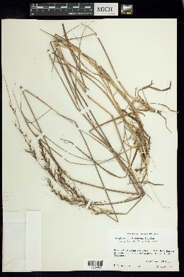 Image of Sorghastrum brunneum