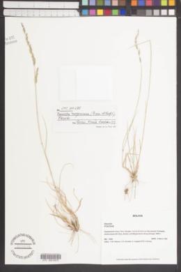 Nassella meyeniana image