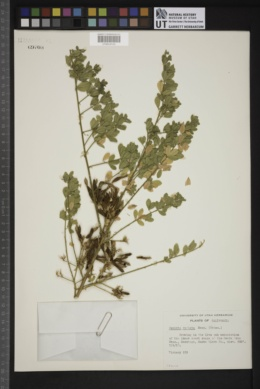 Image of Genista radiata