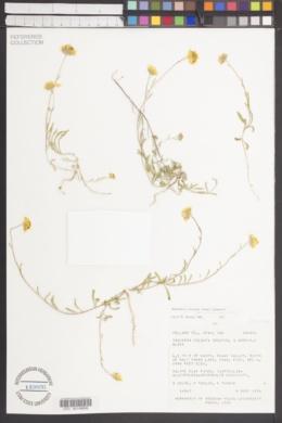 Heliomeris hispidus image