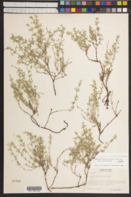 Galium hypotrichium image