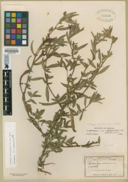 Image of Ludwigia hyssopifolia