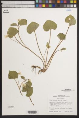 Viola glabella image