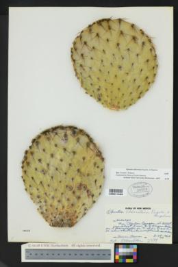 Opuntia chlorotica image