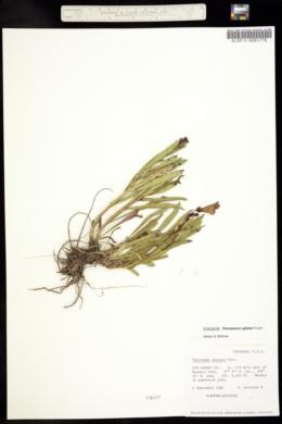 Image of Penstemon alpinus