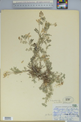 Astragalus humistratus var. humistratus image