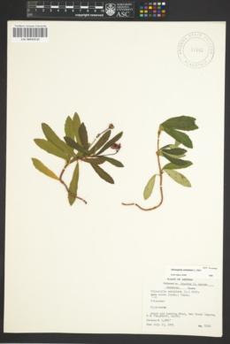 Chimaphila umbellata subsp. acuta image