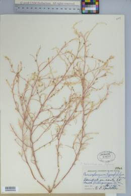Corispermum americanum image