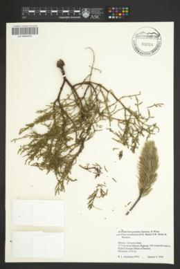 Arceuthobium pendens image