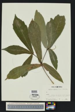 Quercus germana image