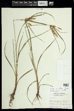Image of Cyperus thyrsiflorus