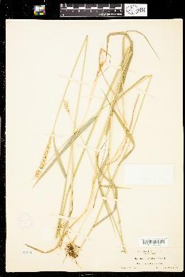 Elymus aristatus image