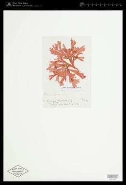 Halymenia elongata image