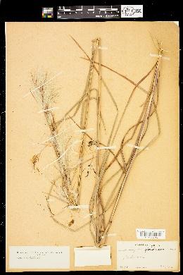 Image of Andropogon floridanus
