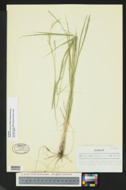 Brachypodium pinnatum image