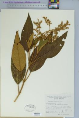 Image of Buddleja cordata