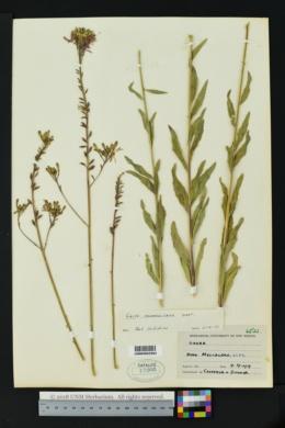 Oenothera coloradensis subsp. neomexicana image